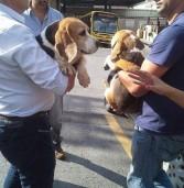 Deputado Ricardo Tripoli fica com a guarda das 2 beagles que estavam apreendidas na Del Pol de São Roque