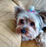 URGENTE: Cachorrinha roubada –  Raça Yorkshire com 4 anos